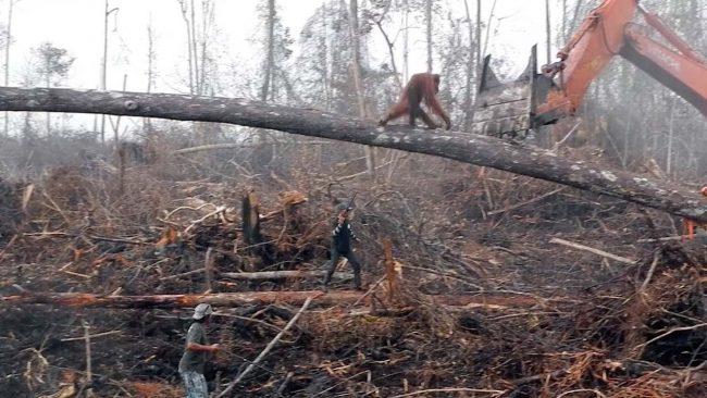 Orangutan pokušava spasiti dom