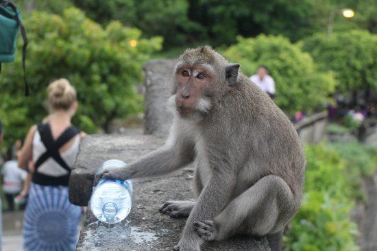 majmun sa Balija