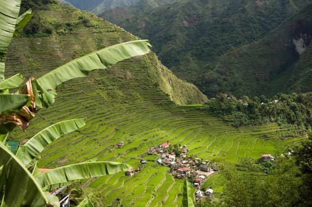 Terase rizinih polja