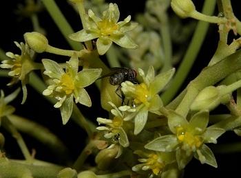 Cvijet avokada