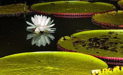 Cvijet Lopoča