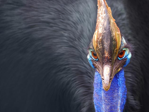 Ptica Kauzar