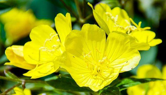 prmrose flower